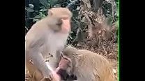 Monkey sucking penis ( who taught them... )